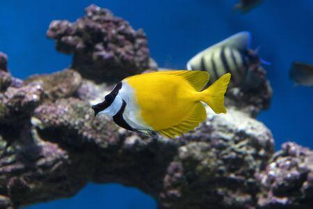 Foxface Rabbitfish (Siganus Vulpinus) tropical fish in aquarium