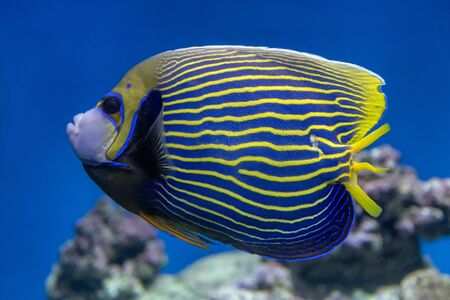 Emperor Angelfish close-up on the background of reefs Stok Fotoğraf