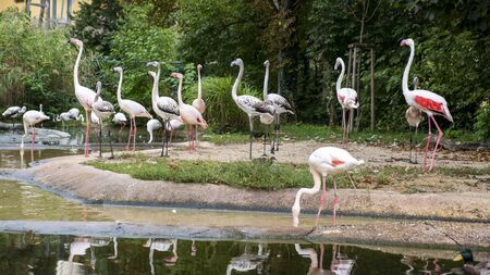 pink flamingos at the pond in the zoo