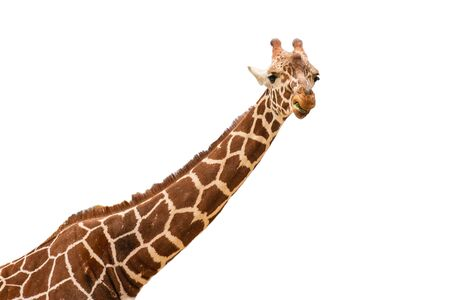 Neck and head of a giraffe isolated on white background Stok Fotoğraf