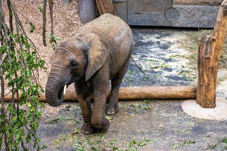 little grey African elephant in zoo Stok Fotoğraf
