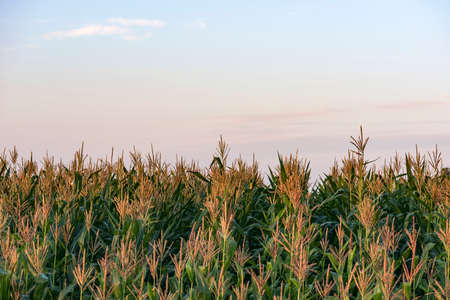 rows of corn on a farm field. morning in the village