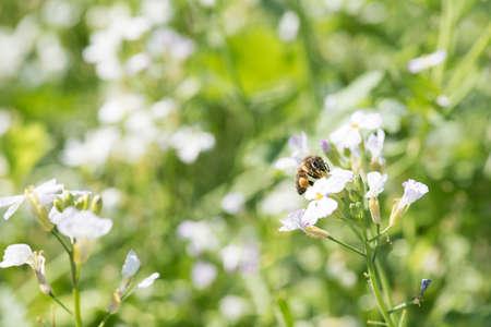 bee pollinates flowers in a honey field Zdjęcie Seryjne