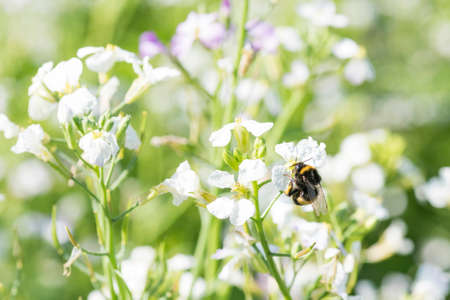 bumblebee sits on a flower. bumblebee eating pollen Zdjęcie Seryjne