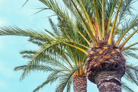 Spanish palm tree on blue sky background