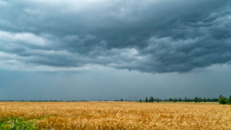 Storm clouds over the wheat field