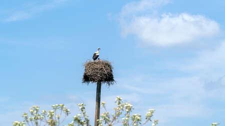 white storks nest against blue sky