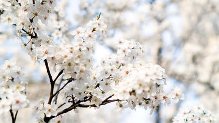 white cherry flowers bloom in spring