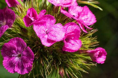 blooming Turkish carnation Dianthus barbatus