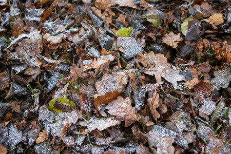 frozen oak leaves top view