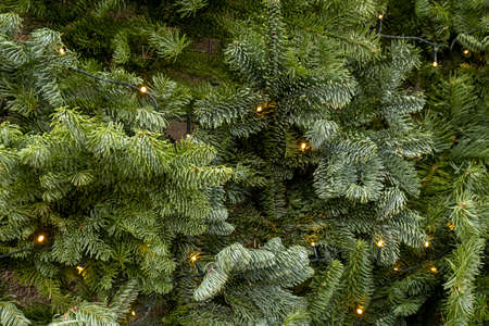 Christmas tree background. spruce branches with flatlay illumination