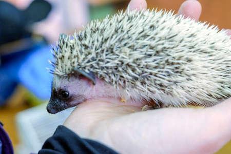 Wild hedgehog in female hands close-up