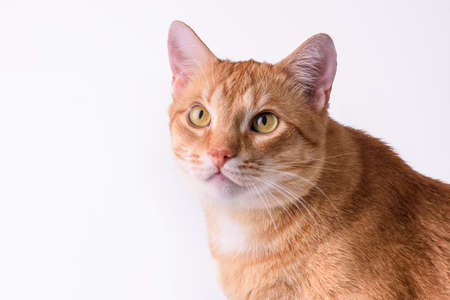 pet adult ginger cat close-up on white background