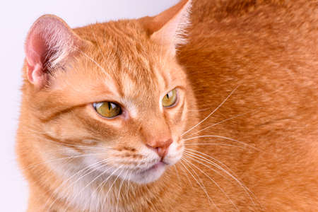 ginger cat close-up on a light background