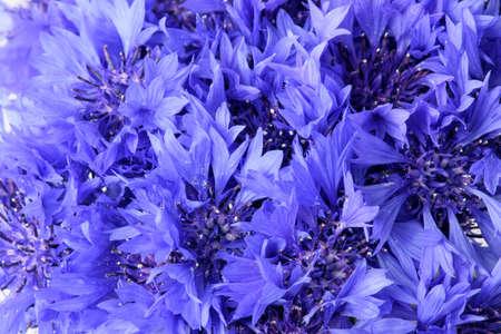 cornflowers background. blue flowers close-up