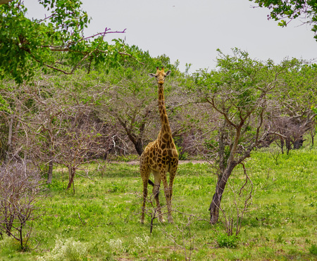 Giraffa nella savana del Mozambico