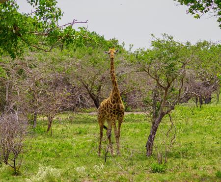 Giraffe in savanna mozambique