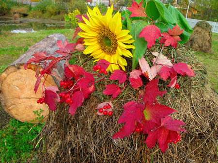 Autumn Still Life sunflower red berries and colorful leaves on a haystack Stock Photo