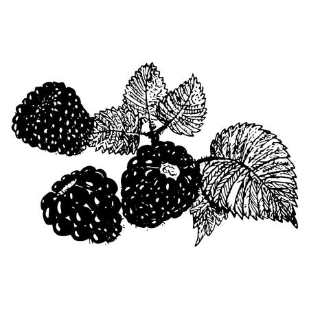 dewberry: Ink blackberries, raspberries hand drawn vector illustration realistic sketch