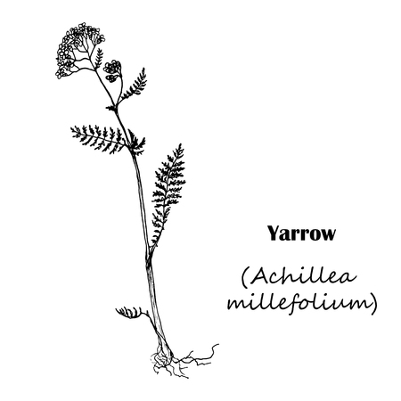 Achillea millefolium Yarrow. Hand drawn sketch botanical illustration. Medical herbs