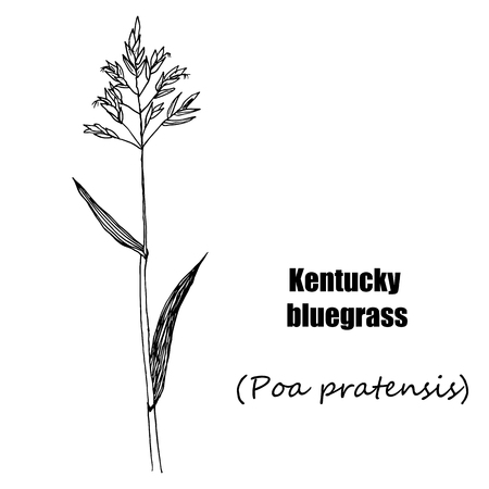 Kentucky bluegrass. Hand drawn sketch botanical illustration. Medical herbs