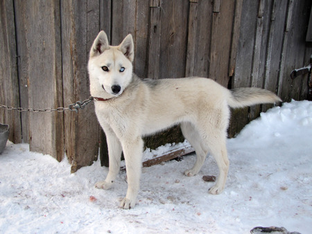 The Siberian Husky. A young beautiful dog - with  multi-colored eyes on the chain.               Imagens