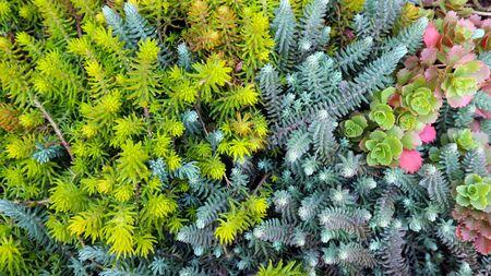 Cacti carpet. Miniature succulent plants background.