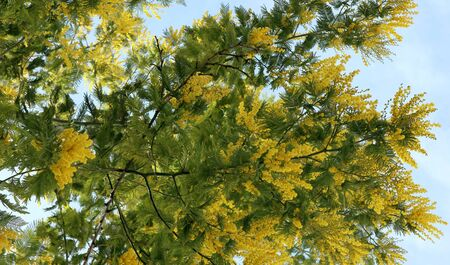 Branches of mimosa tree. Yellow mimosa flowers.  Springtime. 免版税图像
