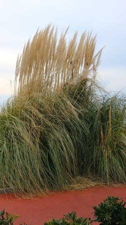 Dried grass with panicle bunch clustered in tussock in autumn