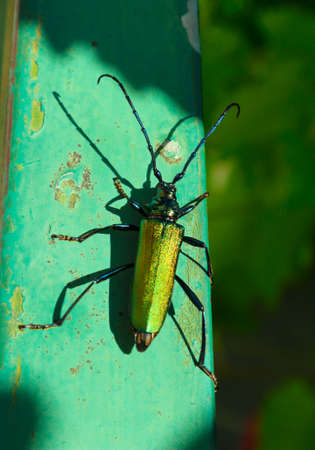 Big golden-green beetle Spanish Fly (cantharis lytta vesicatoria). The source of the terpenoid cantharidin, a toxic blistering agent once used as an aphrodisiac