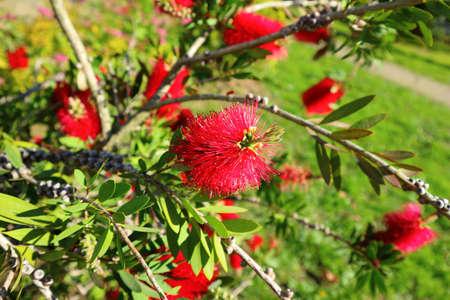 Blooming Bottlebrush Plant Callistemon citrinus. Red fluffy flower heads on the evergreen shrub.