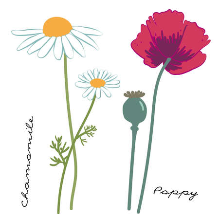Wild flowers Chamomile and Poppy. Field herbs. Botanical vector illustration