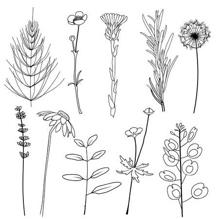 Field herbs dandelion, chamomile, equisetum, ranunculus, paigle, foalfoot, pennycress, lavender, rosemary. Set of hand drawn vector illustration.