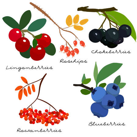 Forest berries collection. Lingonberry, blueberry, rowan, cowberry, chokeberry, rosehip. Hand drawn berries. Vector illustration set. 矢量图像