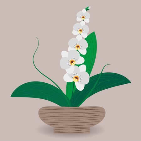 Indoor tropical flowering plant orchid in flower pots. Vector illustration of plant for design of greenhouses, markets, magazines, social pages.
