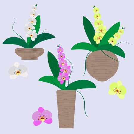 Set of indoor flowered orchids in different colors and in different flower pots. Vector illustration for design of greenhouses, markets, magazines, social pages, hobby decoration.