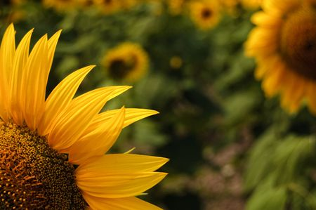 Close-up of sunflower Stock Photo - 3542253