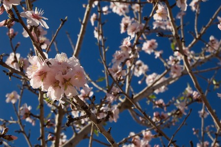 Almond tree - Branch with flowers - Spanish cultivation Stock Photo - 4261351