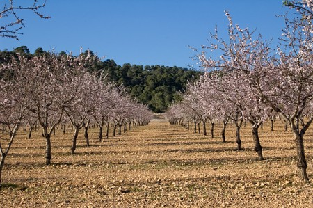 Almond trees in flower - Cultivation - Spain photo