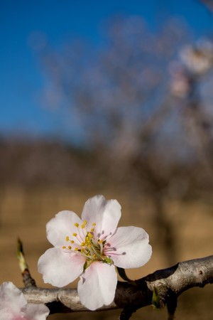 Almond tree - Branch with flowers - Spanish cultivation Stock Photo - 4261352