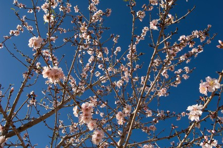 timelapse: Almond tree - Branch with flowers - Spanish cultivation Stock Photo