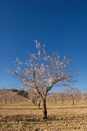 Almond trees flowering - Cultivation - Spain photo