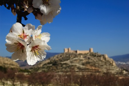 Easter in Spain - closeup on almond flowers and spanish castle on background - Location: Castalla (Alicante - Spain) photo