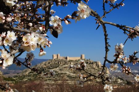 Easter in Spain - Closeup on almond flowers and Spanish castle on background. Location: Castalla (Alicante - Spain) photo