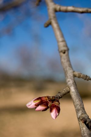 almond bud: Almond tree - Branch with flower buds - Spanish cultivation