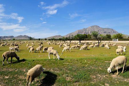 Sheep in a field of Castilla-La Mancha - Tipycal spanish farming Stock Photo - 4674967