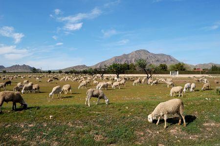 Sheep in a field of Castilla-La Mancha - Typical spanish farming photo