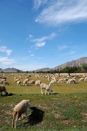 Sheep in a field of Castilla-La Mancha - Typical spanish farming Stock Photo - 4757859