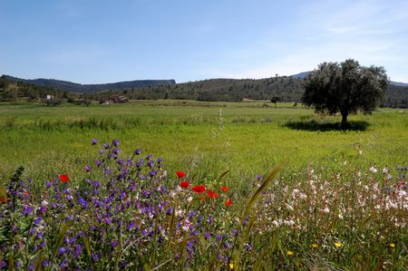 flowering field: Spring in Spain, field view with old olive tree, poppies and wild flowers