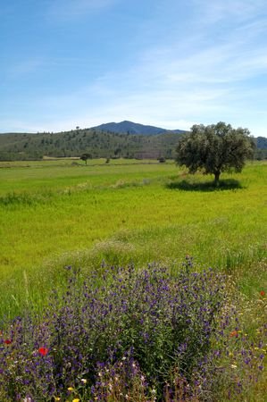 Spring in Spain, field view with old olive tree, poppies and wild flowers photo